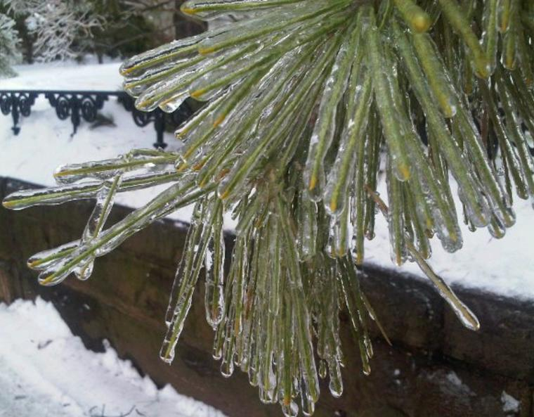 Pine needles beneath a thick layer of ice.