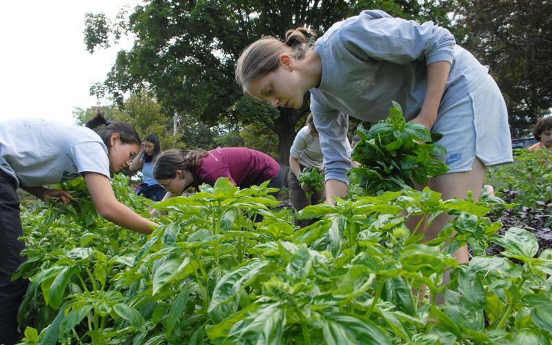 Students harvest basil at the Yale Farm