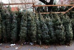 Christmas trees, tied and trussed up for sale.